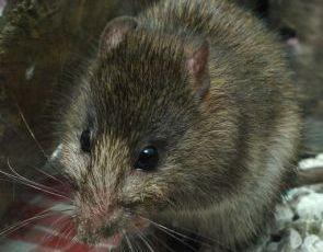 Rezultat iskanja slik za podgana